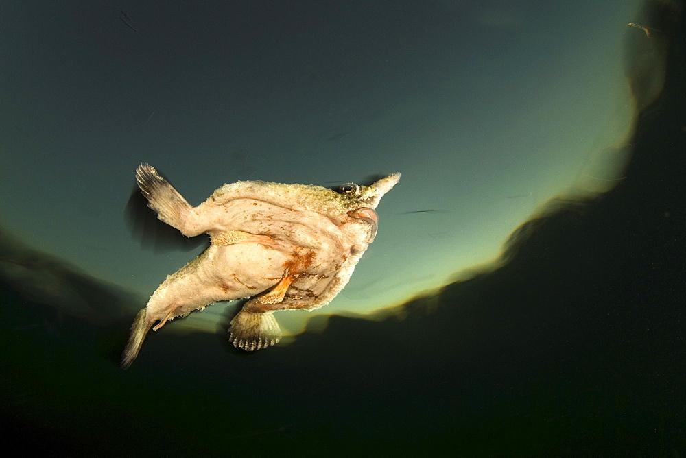 Shortnose Batfish, Belize - 1072-27