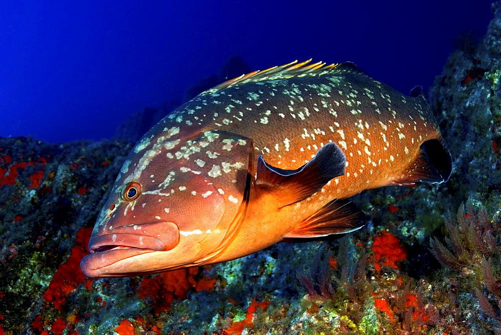 El Hierro, Canary Islands, Grouper (Epiaephelos marginatus) - 1072-3