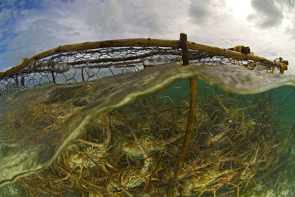 Lobsters trapped in fishing net, Los Roques, Venezuela - 1072-36