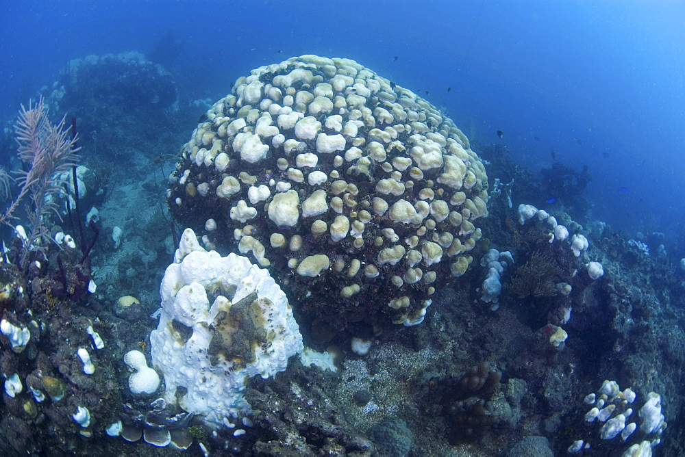 Bleached coral damaged by water warming, Dominican Republic - 1072-39