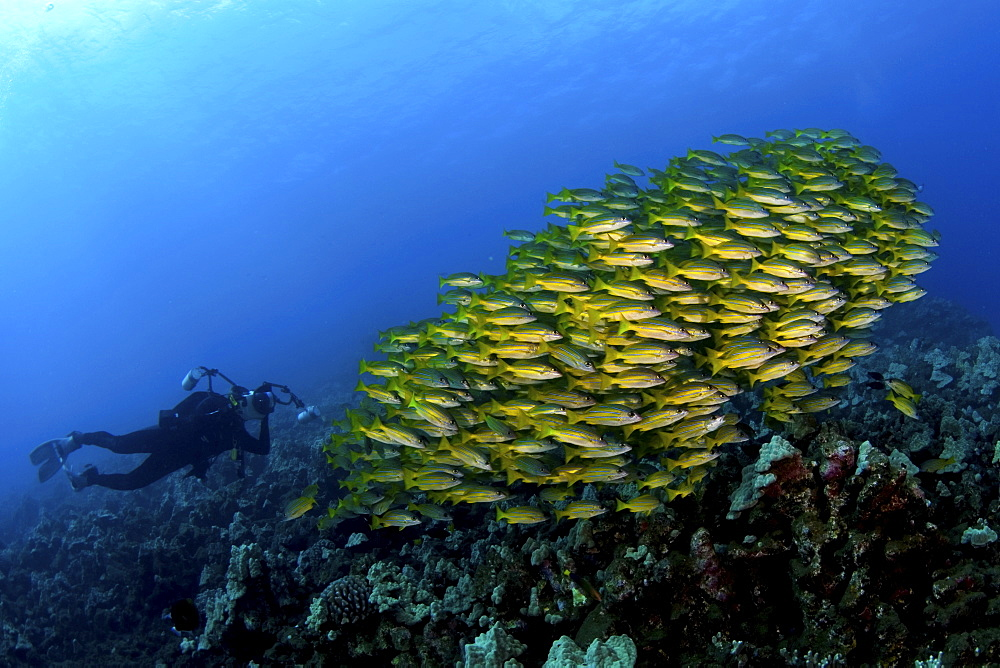 Shoal of snappers and photographer, Maui, Hawaii - 1072-4