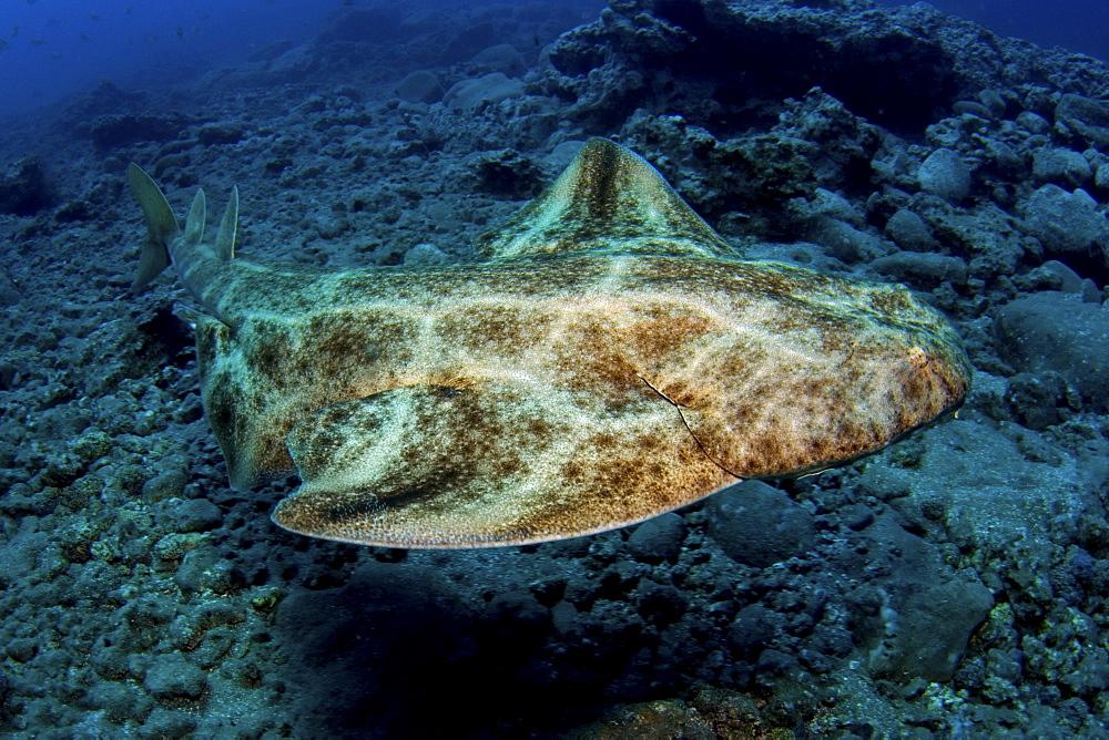 angel shark, Gran Canaria, Canary Islands - 1072-51