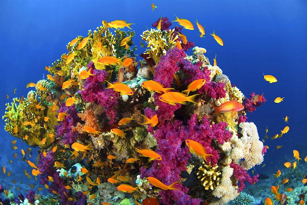 anthias in coral reef, Rash Mohammed,  Red Sea - 1072-54