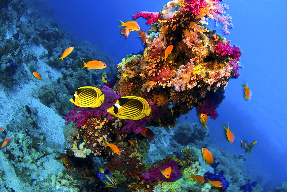 Butterflyfish in coral reef, Rash Mohammed,  Red Sea - 1072-55
