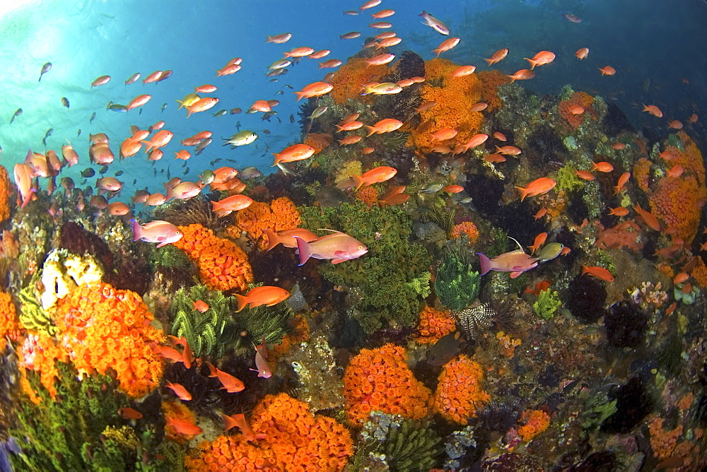 schoal of anthias in coral reef, Komodo, Indonesia - 1072-59