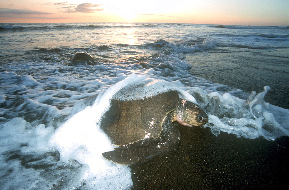 Olive Ridley Sea Turtle going ashore to lay eggs during arribada, Ostional, Costa Rica - 1072-74