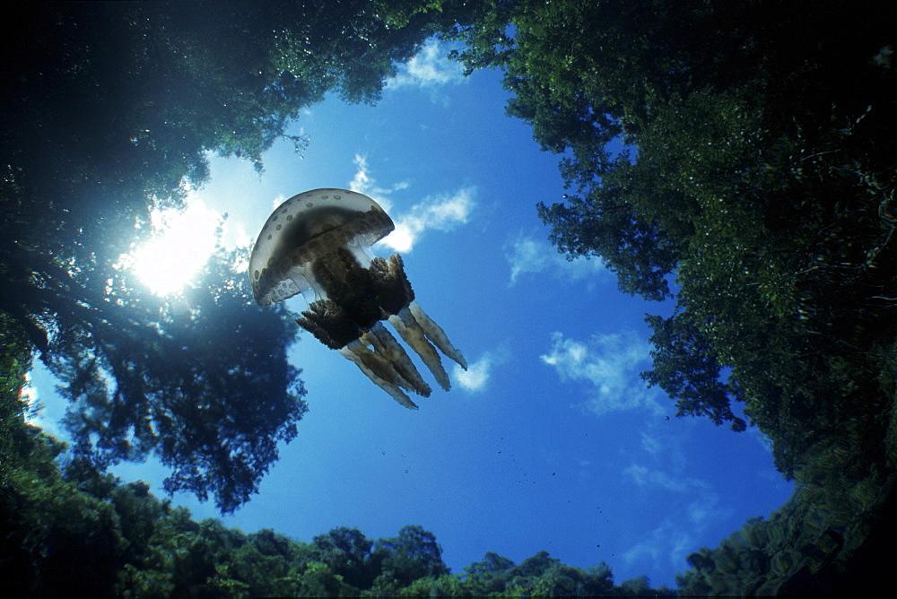 Jellyfish in lake, Palau, Micronesia - 1072-75