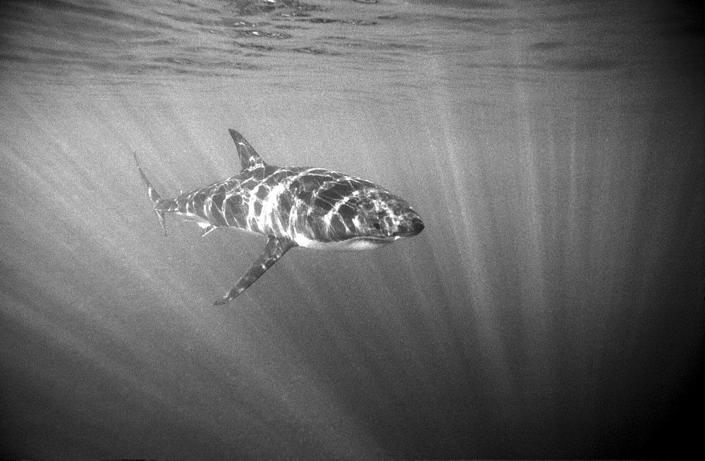 White shark, Gaans Bai, South Africa