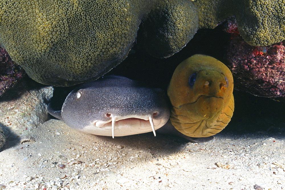 nurse shark and moray eel, Cayman Islands