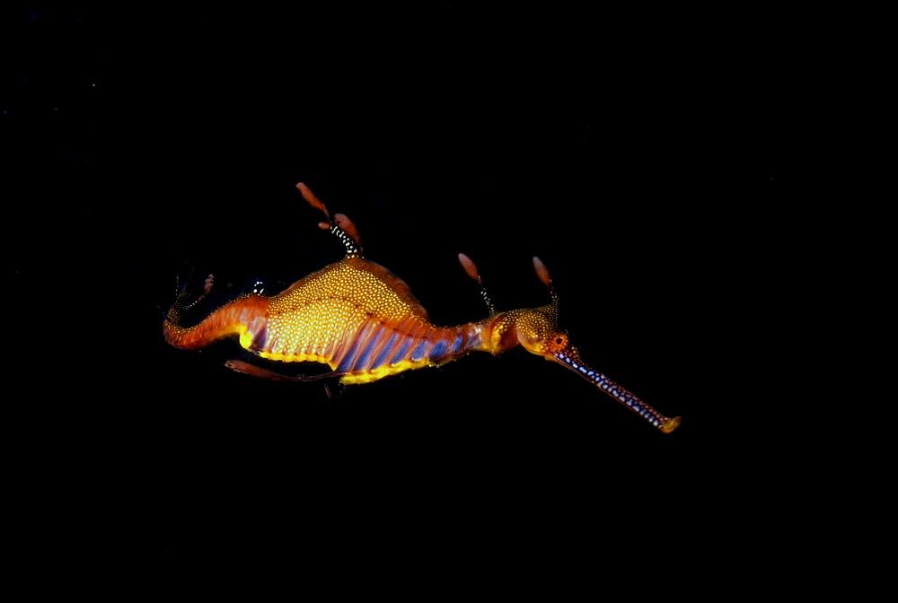 Weedy sea dragon, Australia - 1072-80