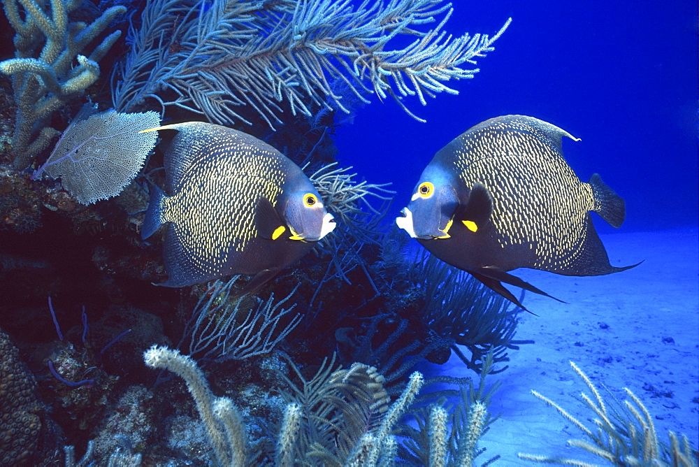 couple of French angelfish, Cayman Islands - 1072-9