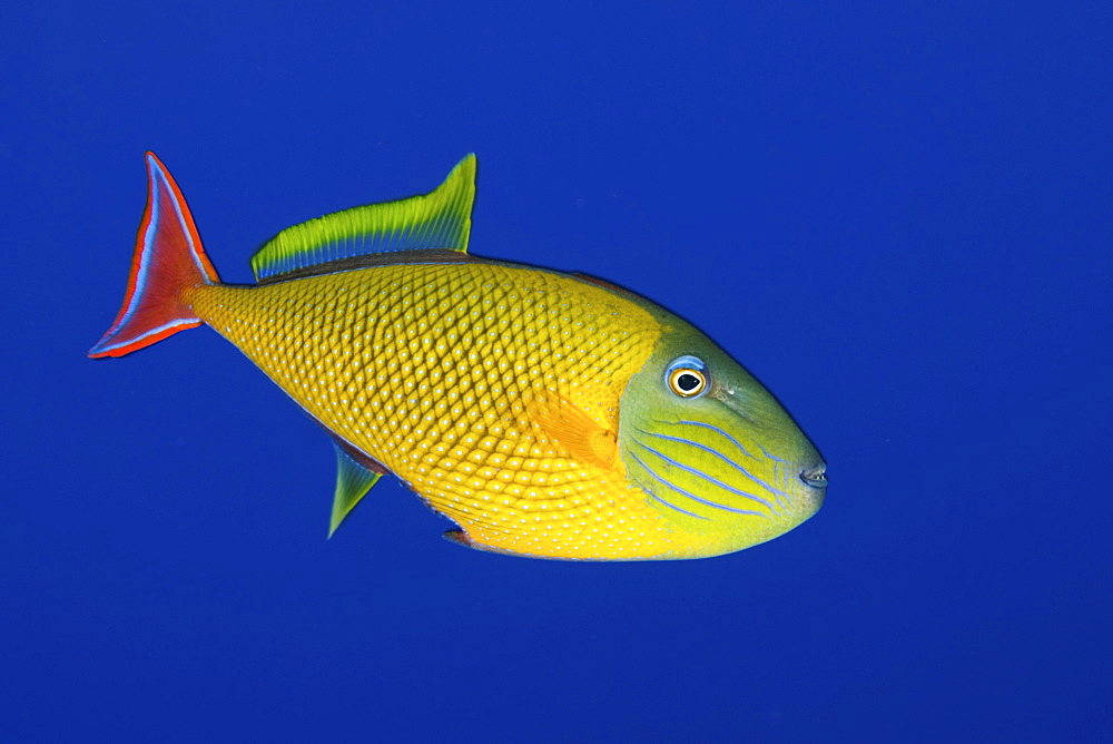 Redtail triggerfish. Socorro. Revillagigedo Islands, Pacific Ocean Pacific Ocean - 1072-90
