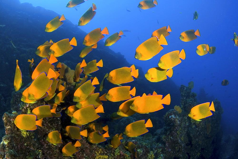 shoal of Calrion Angelfish feeding. Socorro. Revillagigedo Islands, Pacific Ocean Pacific Ocean - 1072-93