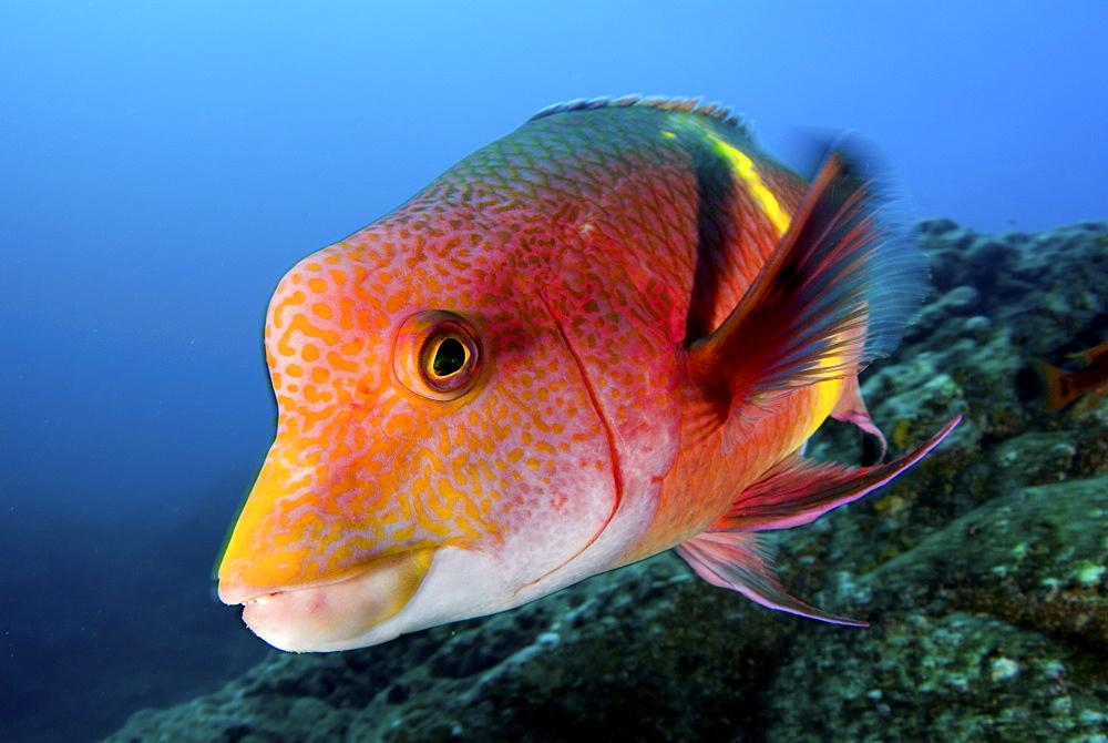 Mexican hogfish. Socorro. Revillagigedo Islands, Pacific Ocean Pacific Ocean - 1072-94