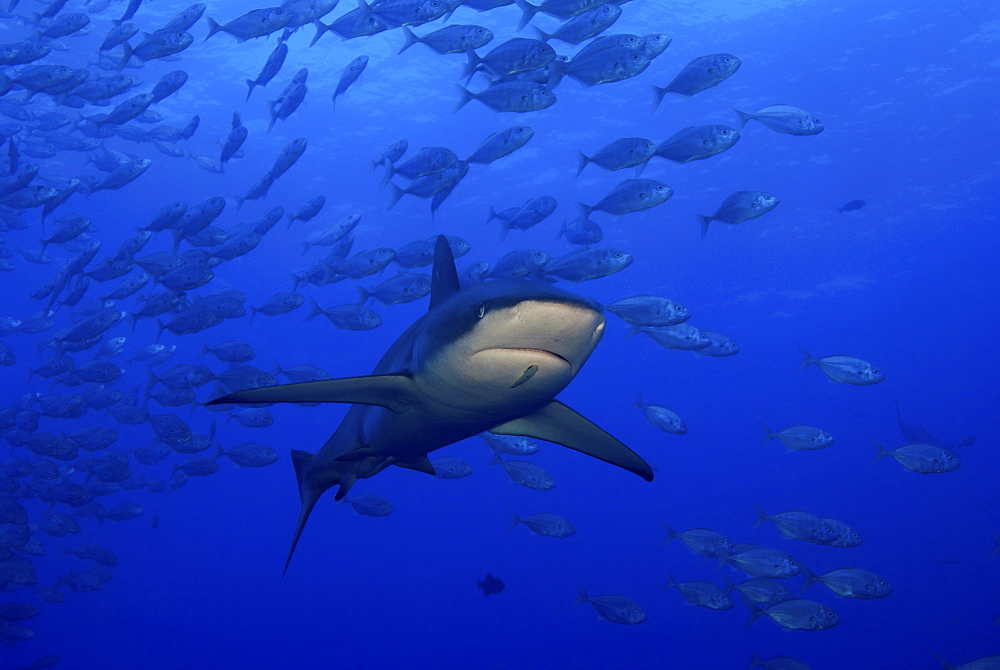 Galapagos shark, San Benedicto. Revillagigedo Islands, Pacific Ocean - 1072-96