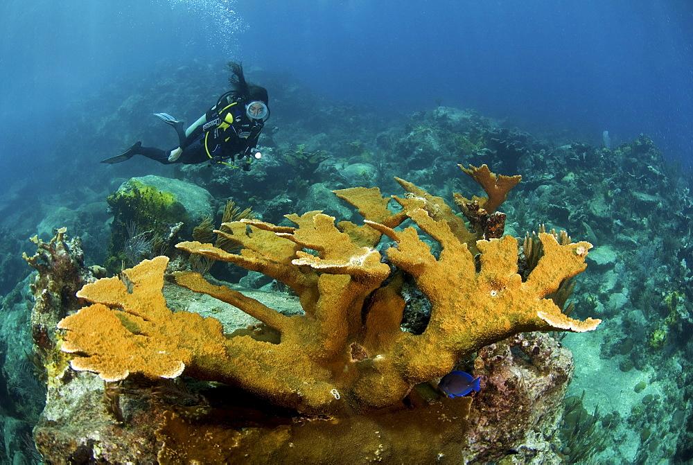 Elkhorn coral and female diver, Jost Van Dyke, British Virgin Islands - 1072-98