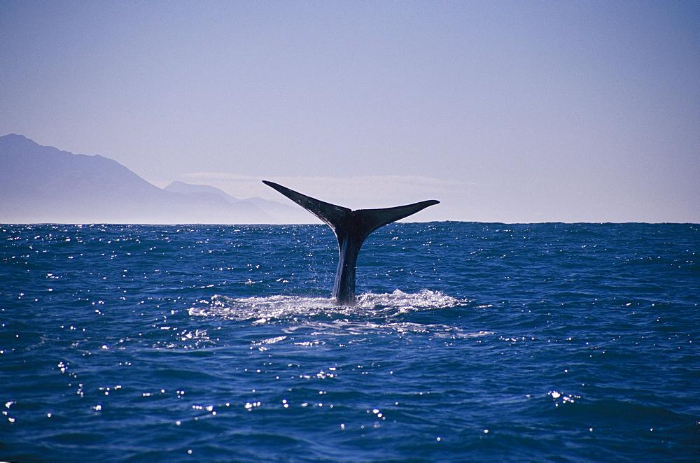 Sperm whale (Physeter catadon) diving off coast Kaikoura, New Zealand