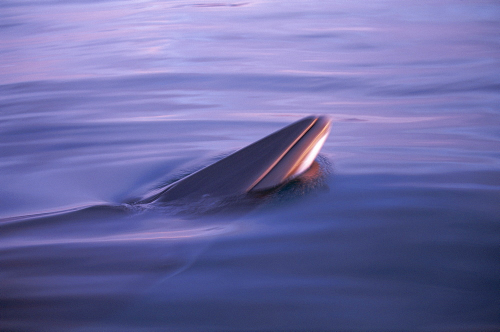 Minke whale (Balaenoptera acutorostrata) spy hopping in low light at sunset with rosturm visible. Husavik, Iceland