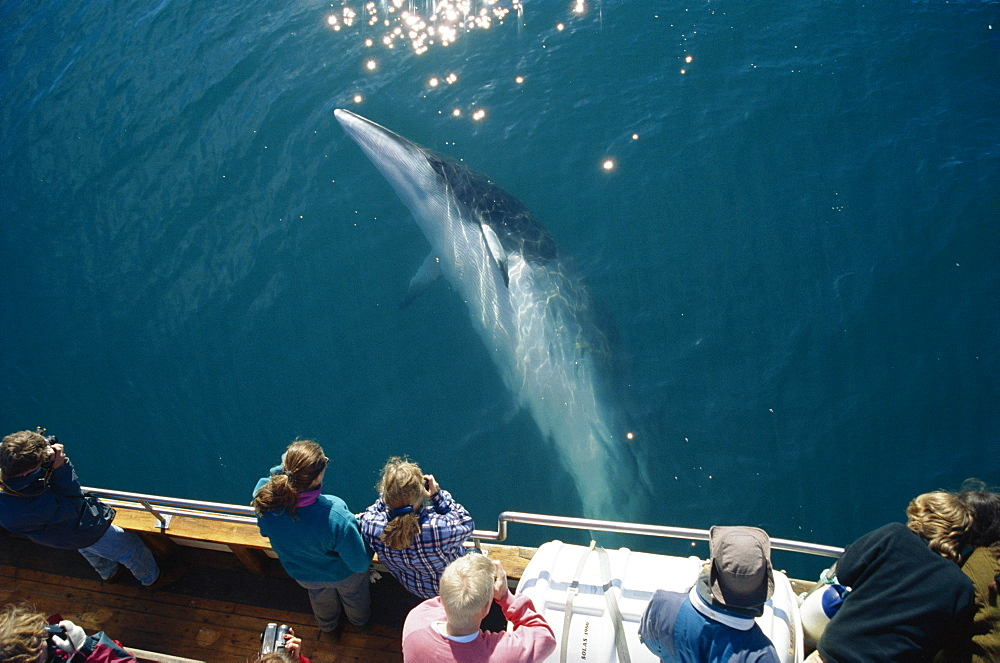 Minke whale (Balaenoptera acutorostrata) associating with North Sailing whale-watching boat Husavik, close to the arctic circle at the top of Iceland.