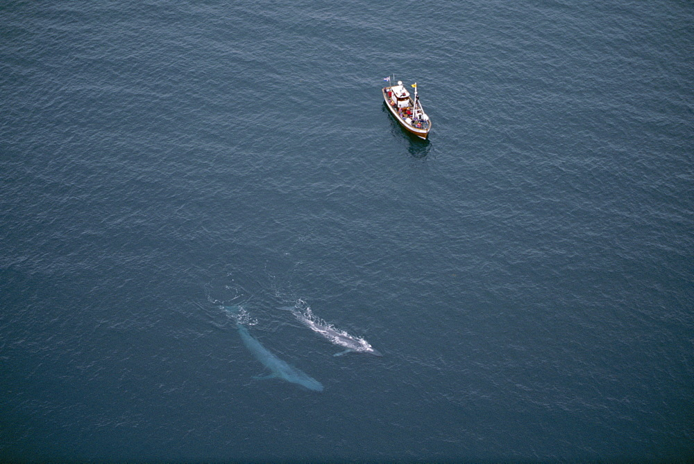 A rare, aerial view of Blue whales (Balaenoptera musculus) surfacing near whale-watching boat in the fjords, near Husavik, on the north coast of Iceland. - 1074-21