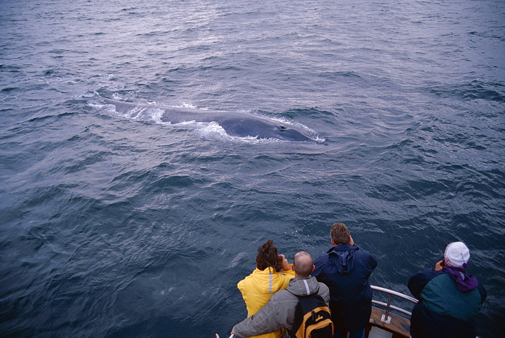 Whale-watchers photographing a Blue whale (Balaenoptera musculus) as it surfaces, showing interest in the boat. Husavik, Iceland