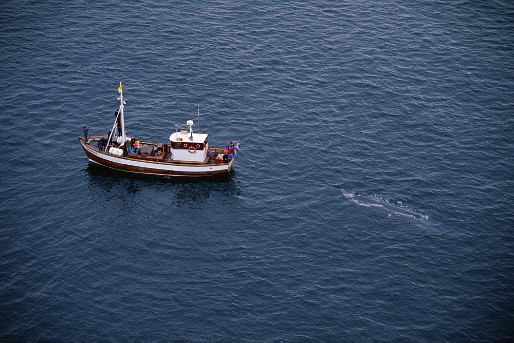 A rare, aerial view of a Blue whale (Balaenoptera musculus) surfacing near whale-watching boat in the fjords, near Husavik, on the north coast of Iceland.
