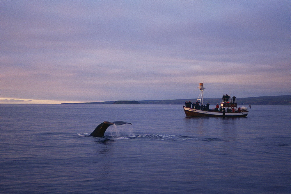 Humpback whale (Megaptera novaeangliae) fluking up for a deep dive with the midnight sun and a whale-watching boat behindt. Husavik, Iceland - 1074-31