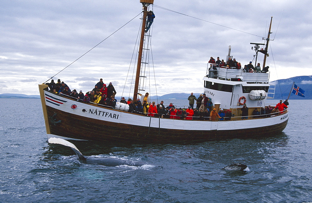 Humpback whale (Megaptera novaeangliae) with long pectoral fin held out of the water in front of boat full of whale-watchers. HusavÌk, Iceland - 1074-33