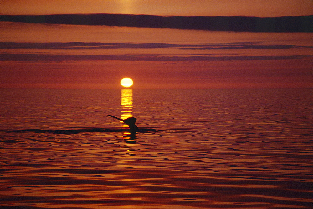 Humpback whale (Megaptera novaeangliae) fluking up for a deep dive with the midnight sun setting behind. Near Husavik on the north coast of Iceland - 1074-5