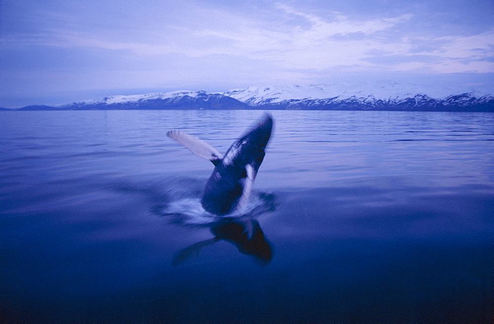 Humpback whale (Megaptera novaeangliae) breaching in the night where it is still light fjords near Husavik, on the north coast of Iceland. - 1074-7