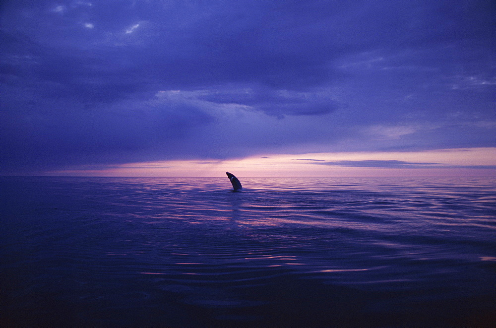 Humpback whale (Megaptera novaeangliae) breaching in the midnight sun in the fjords in the north of Iceland. Husavik, Iceland  - 1074-8