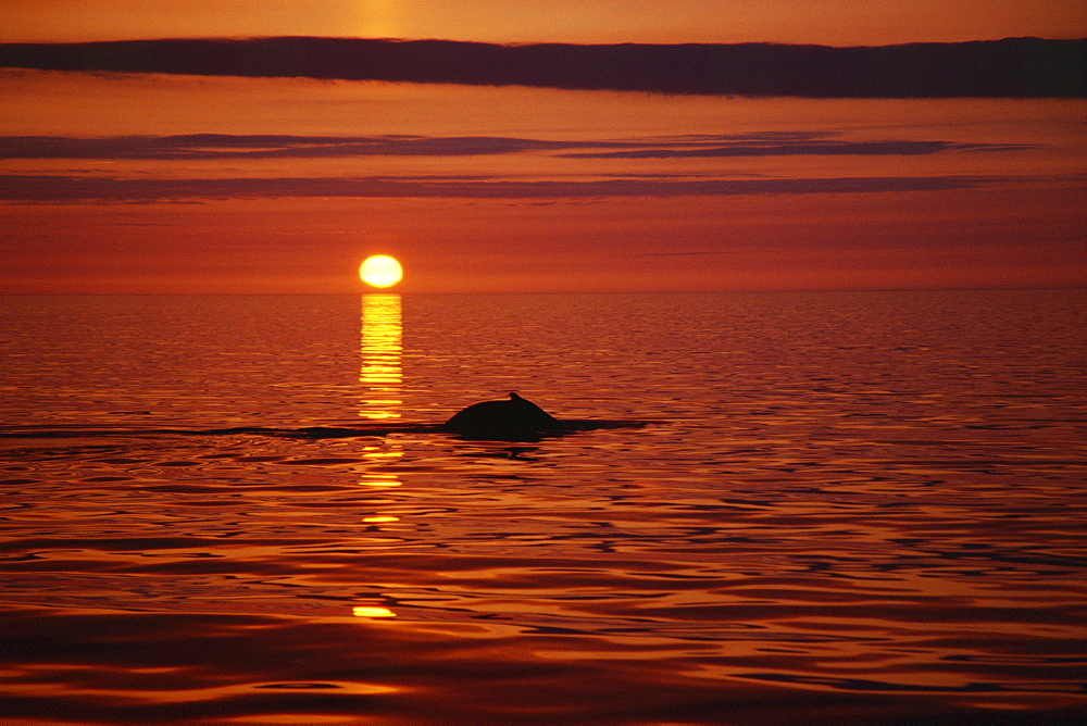 Humpback whale (Megaptera novaeangliae) surfacing in the midnight sun in the fjords in the north of Iceland. Husavik, Iceland - 1074-9