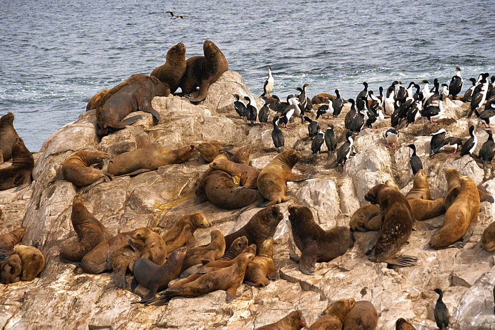 Sea lions, Beagle Channel, Argentina, South America - 110-15718