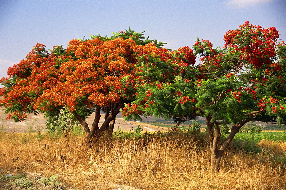 Flame tree, Jordan, Middle East - 110-4940