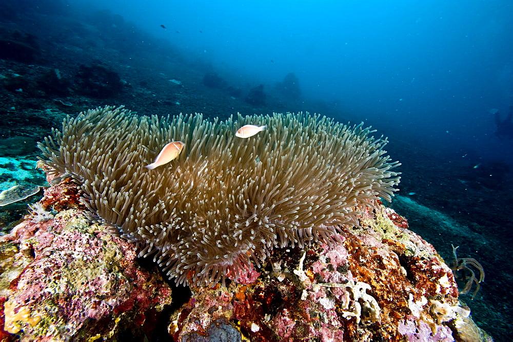 Anemone reef scene at Nalusuan Marine Sanctuary, Cebu, Philippines, Southeast Asia, Asia