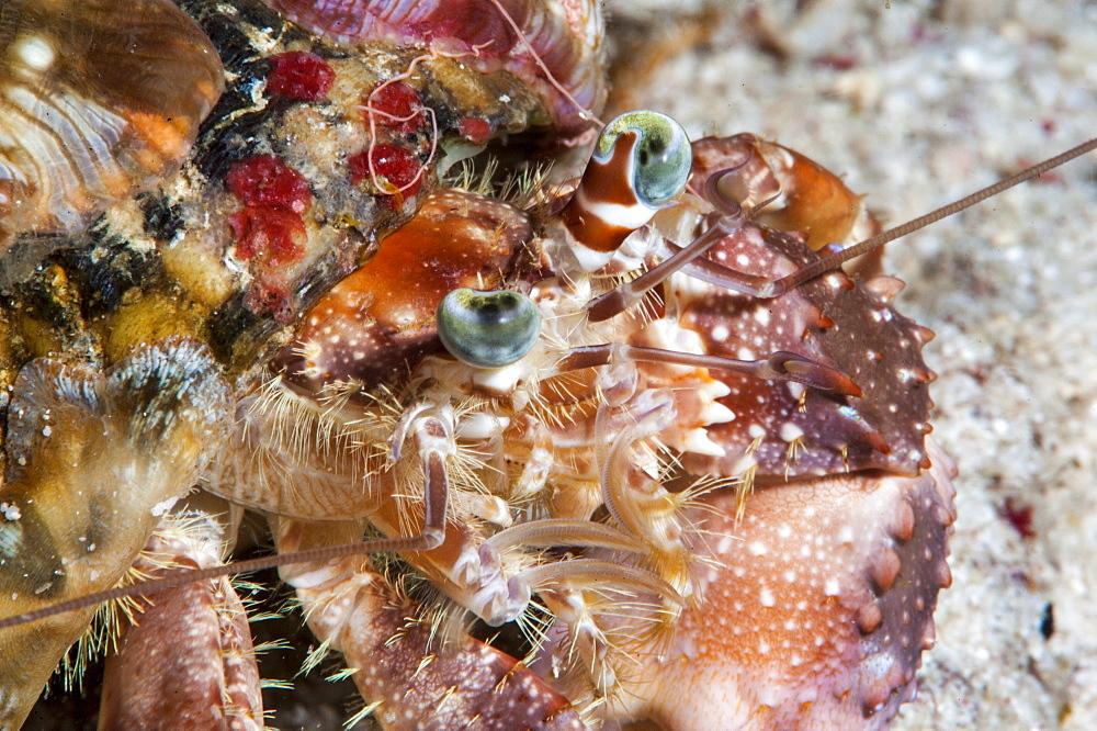 Decorator crab (Dardanus pedunculatus), Sulawesi, Indonesia, Southeast Asia, Asia