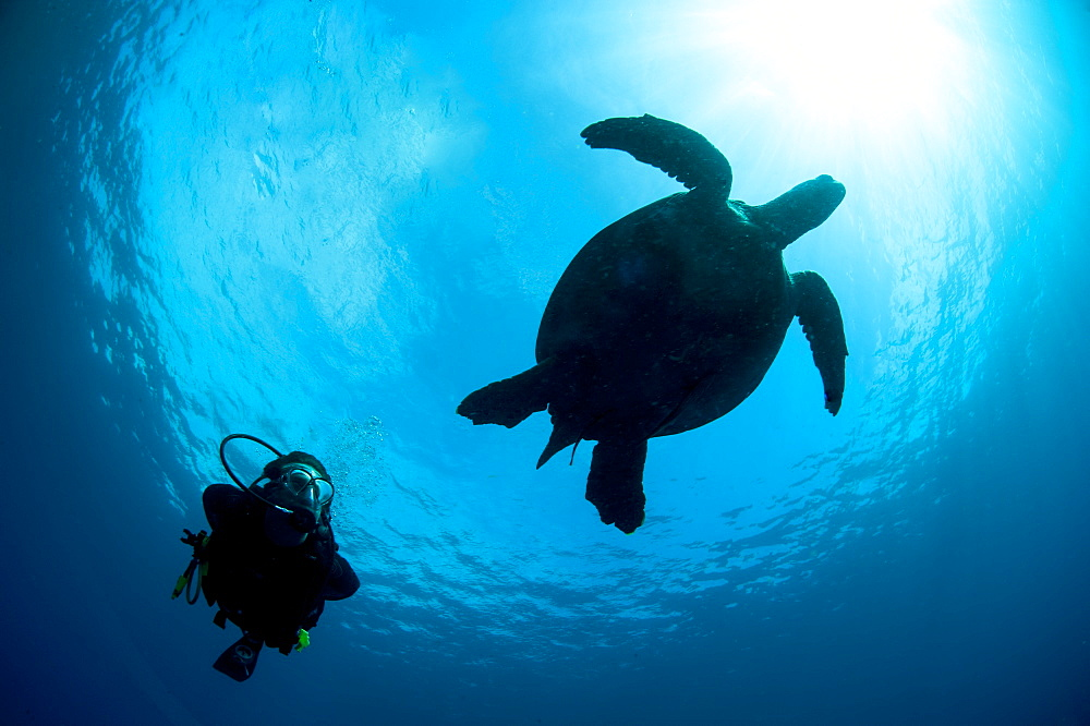 Hawksbill turtle (Eretmochelys imbricata) and diver, Sulawesi, Indonesia, Southeast Asia, Asia