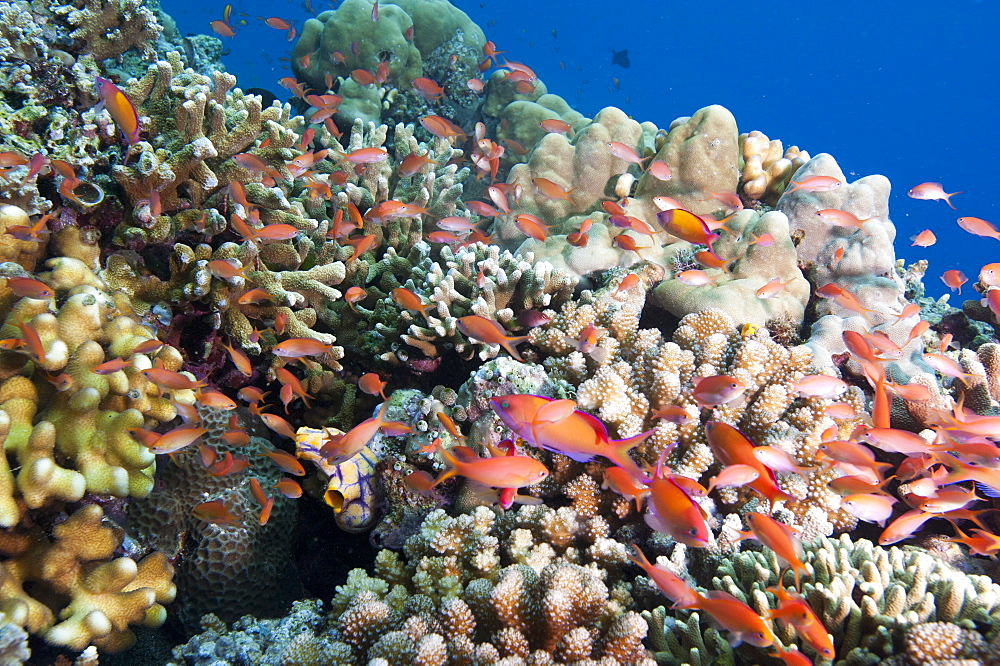 Reef with male and female redfin anthias (Pseudanthias dispar), Sulawesi, Indonesia, Southeast Asia, Asia
