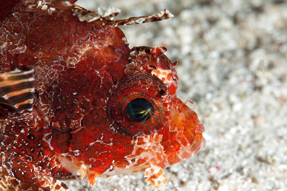 Shortfin lionfish (Dendrochirus brachypterus), Sulawesi, Indonesia, Southeast Asia, Asia