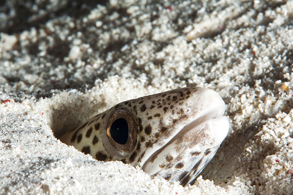 Barred sand conger eel (Poecilogonger fasciatus), Sulawesi, Indonesia, Southeast Asia, Asia