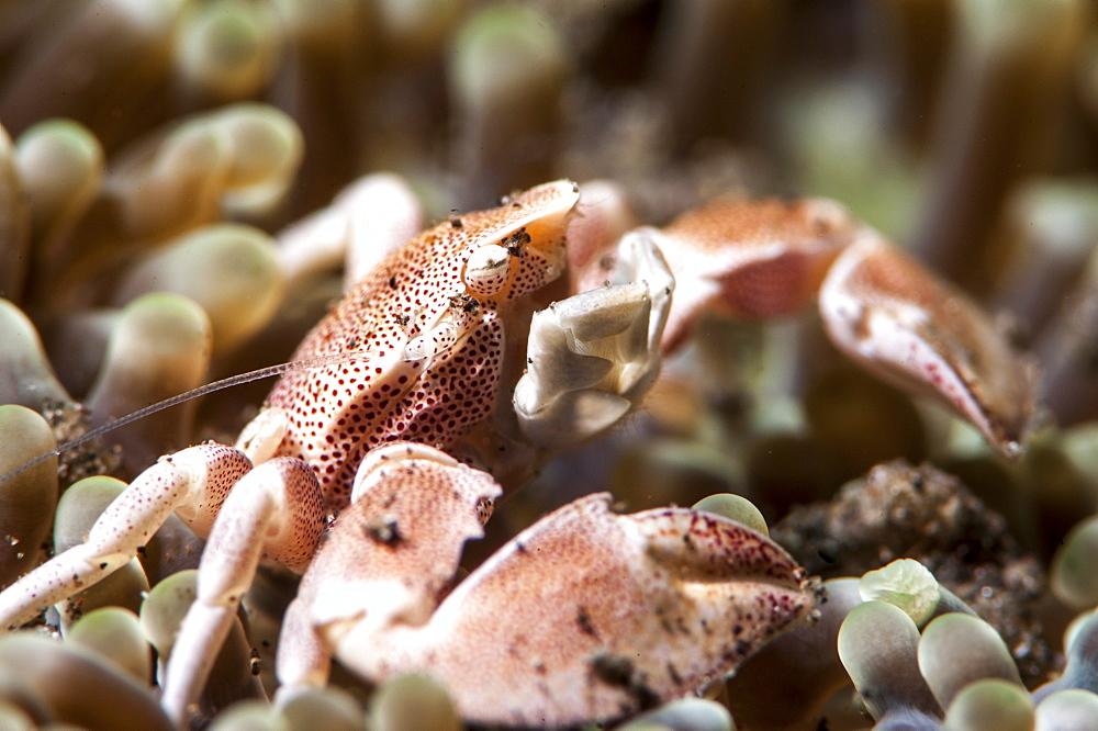 Porcelain crab (Neopetrolisthes maculata), Sulawesi, Indonesia, Southeast Asia, Asia