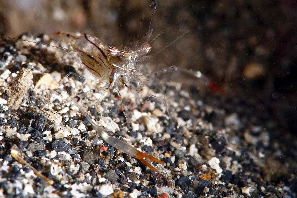 Commensal shrimp (Periclimenes tenuipes), Sulawesi, Indonesia, Southeast Asia, Asia
