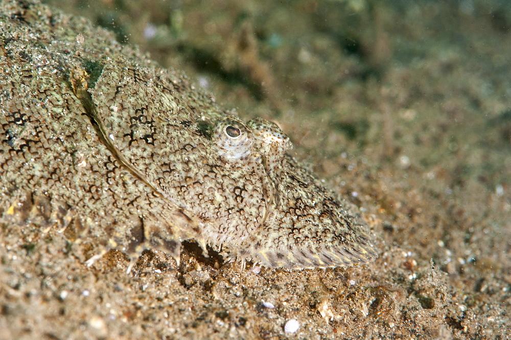 Largescale flounder (Engyprosopon grandisquama), Sulawesi, Indonesia, Southeast Asia, Asia