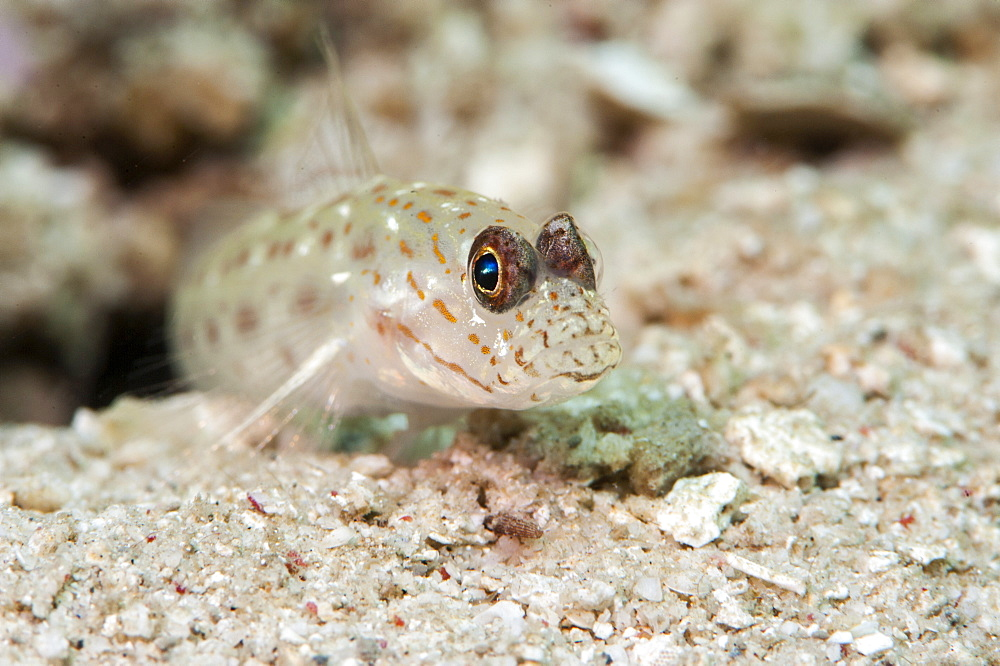 Gold speckled shrimp goby (Ctenogobiops pomastictus), Sulawesi, Indonesia, Southeast Asia, Asia