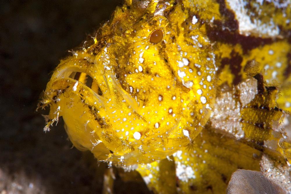 Leaf scorpionfish (Taenianotus triacanthus), Sulawesi, Indonesia, Southeast Asia, Asia