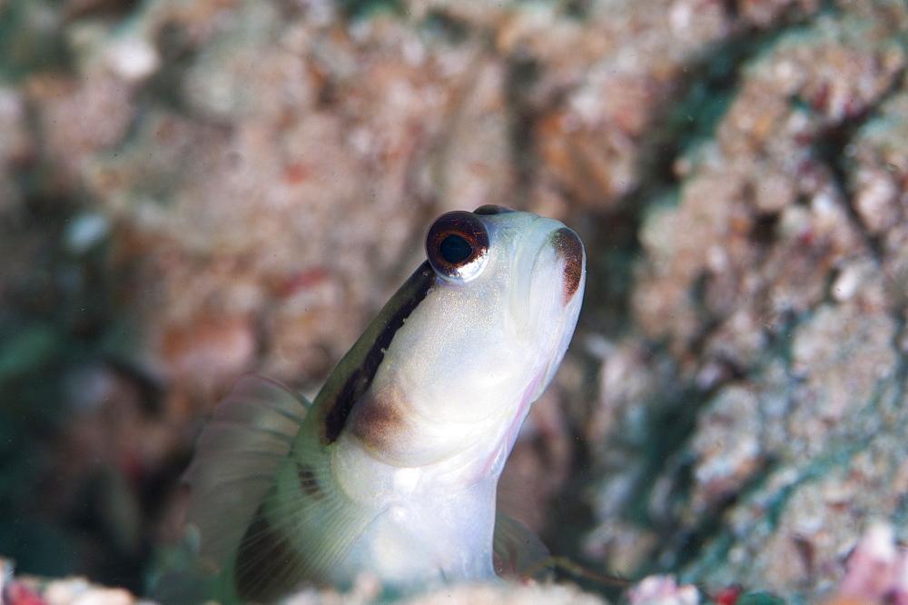 Black line shrimp goby (Myersina nigrivirgate), Sulawesi, Indonesia, Southeast Asia, Asia