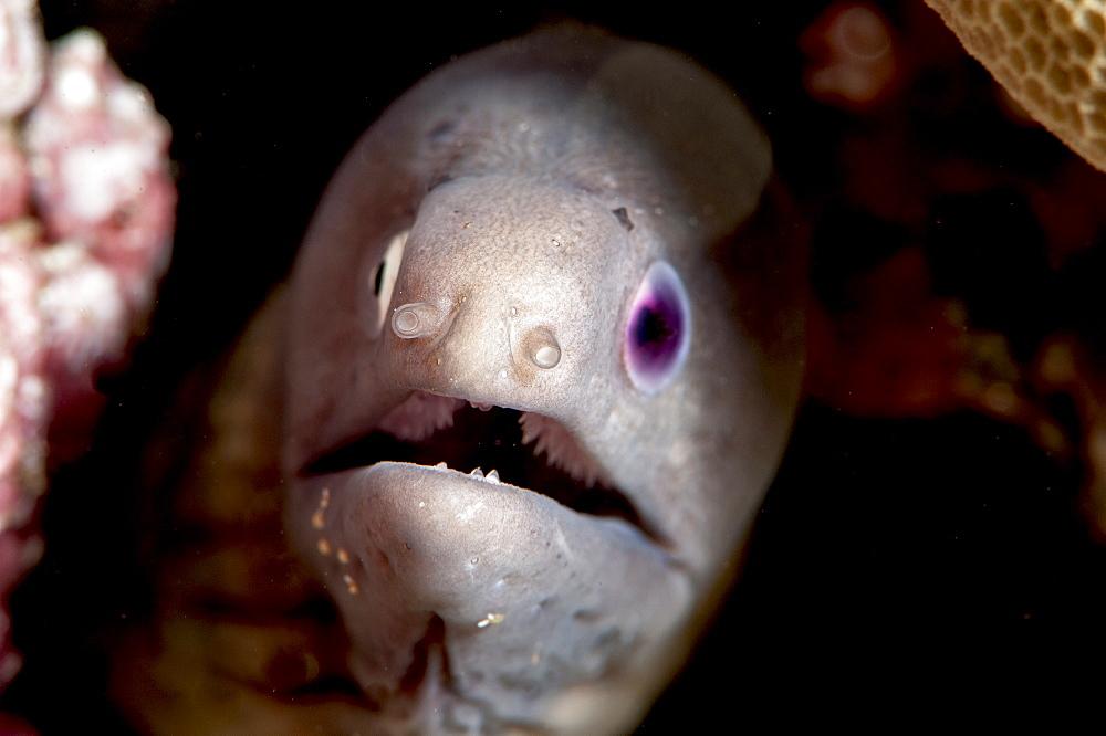 White eyed moray eel (Siderea thysoidea) blind in one eye, Sulawesi, Indonesia, Southeast Asia, Asia