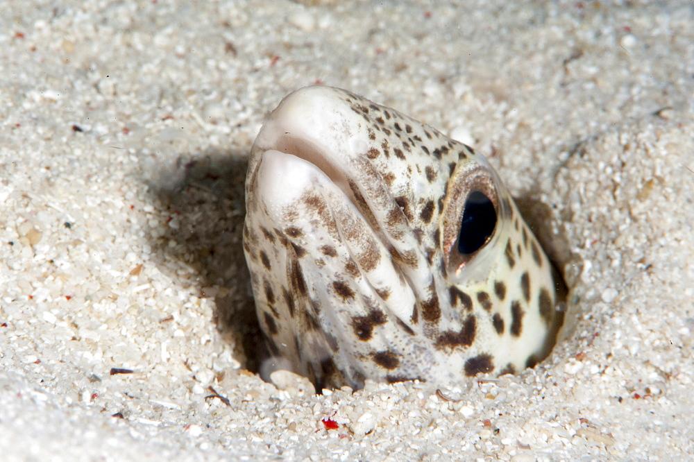 Barred sand conger eel (Poeciloconger fasicatus), Sulawesi, Indonesia, Southeast Asia, Asia