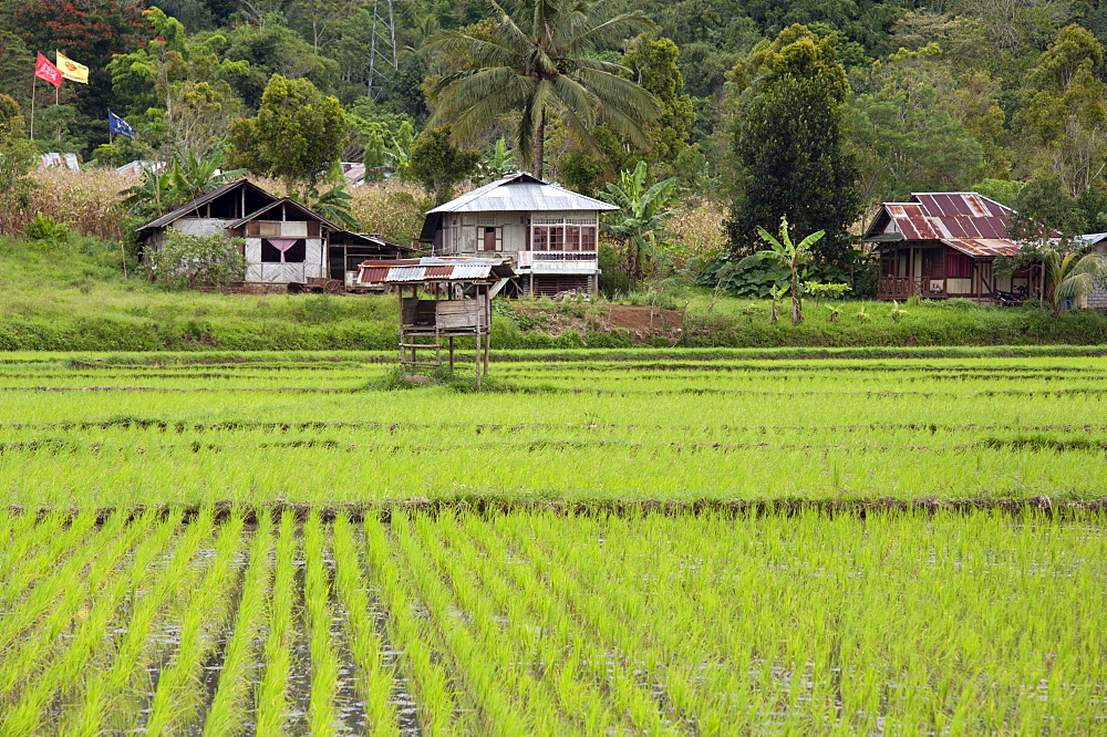 Rice paddy field, Sulawesi, Indonesia, Southeast Asia, Asia