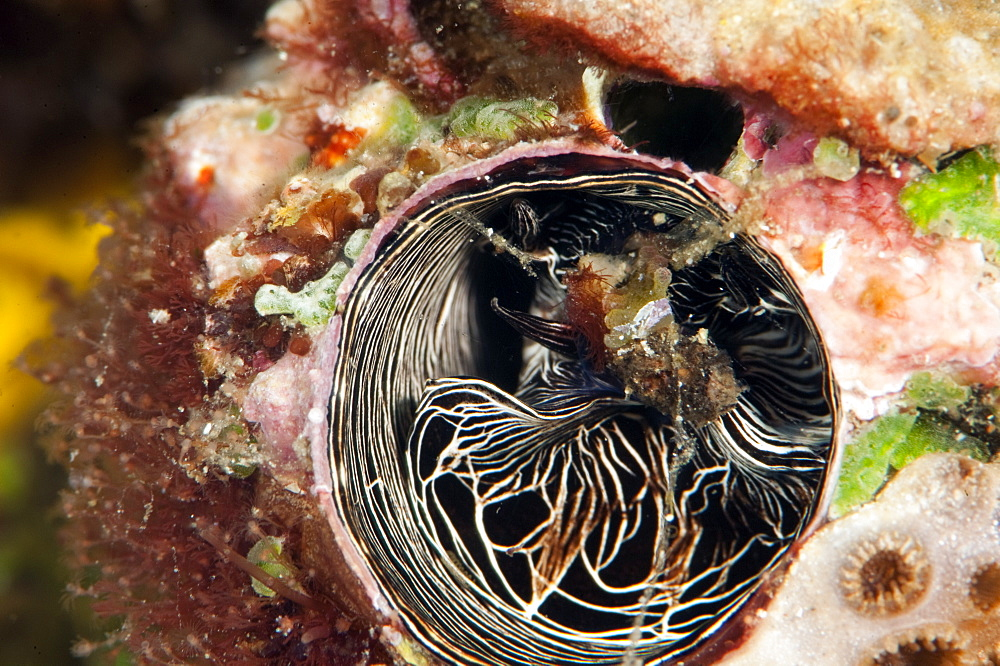 Inside of a tube worm, Komodo, Indonesia, Southeast Asia, Asia